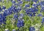 This is a field of bluebonnet in Austin Texas.